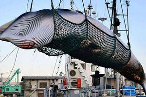 Hạ màn kịch vụng 5000 tấn cá 'nghiên cứu khoa học'/năm