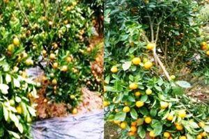 Hưng Yên: Vườn quất cảnh bán dịp Tết của người dân bị phá hoại