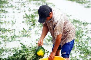 Gần 70 ha dưa hấu ngập trong biển nước, nông dân Cà Mau lo mất Tết