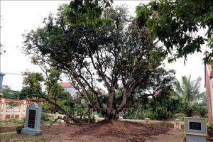 Chi hơn 600 triệu đồng để bảo tồn gen quý cây vải tổ Thanh Hà