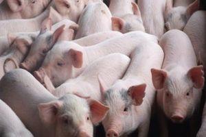 Giá heo (lợn) hơi hôm nay 8/1: Cục Chăn nuôi muốn giảm giá heo về 40.000 - 45.000 đồng/kg