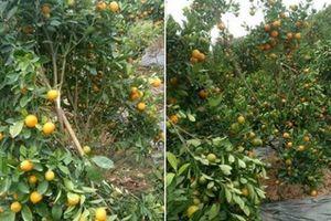Hé lộ đối tượng phá hoại vườn quất cảnh của một gia đình ở Hưng Yên