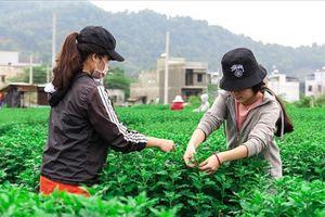 Sinh viên kiếm thêm thu nhập bằng nghề chăm sóc hoa Tết