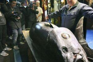 Con cá ngừ đắt kỷ lục chưa từng có: Với 300 kg bán giá 70 tỷ