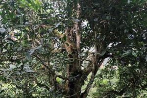 Choáng ngợp giữa 'khu rừng báu vật' chè hoang khổng lồ ngàn năm tuổi ở Tây Côn Lĩnh