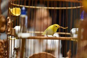 Cận cảnh bộ sưu tập chim đột biến gien tiền tỷ quý hiếm của ông 'vua chim màu'