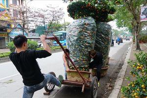 Cực công vận chuyển quýt lục bình khổng lồ 3,5m đón tết Kỉ Hợi