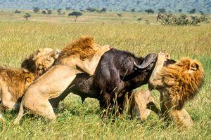 Trâu rừng ác chiến giành sự sống trước bầy sư tử hung dữ
