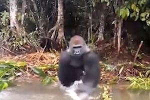 Khỉ đột giận dữ, té nước vào mặt du khách