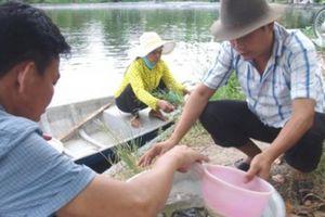 Bỏ lúa lao vào ương giống cá tra, trúng số thì ít trắng tay mới sợ