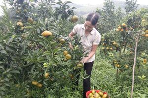 Làm giàu từ cây cam trên huyện đảo Vân Đồn