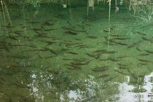 Kỳ bí suối nước trong vắt, cá lúc nhúc giữa rừng thẳm Sơn La
