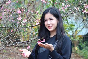 Ngắm sắc hoa Anh Đào nở rực rỡ tại Điện Biên