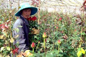 Làng hoa hồng nổi tiếng Đà Lạt được công nhận vùng nông nghiệp công nghệ cao