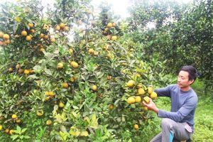 Chùm ảnh: Cam Thượng Lộc chín trĩu cây, chủ vườn 'ém hàng' chờ bán tết
