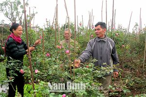 Đưa hồng cổ Sa Pa về trồng, dân làng thu hàng trăm triệu đồng mỗi năm