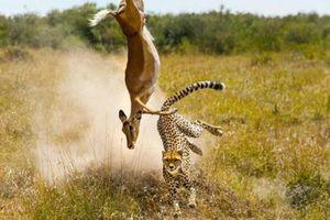 Ảnh động vật: Báo đốm 'săn' linh dương trên không, hoẵng khoe mông...