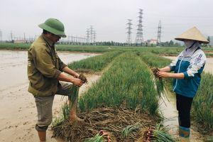 Trồng hành tỏi đặc sản, nông dân Hải Dương thu hơn 1.000 tỷ đồng