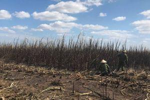 Đắk Lắk: Cháy rụi hàng 100ha mía đang thu hoạch