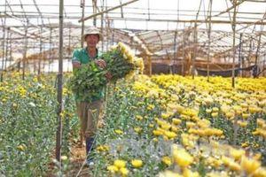 Hoa cúc, quất ở Phú Yên được mùa