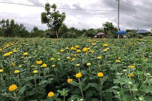 Người trồng hoa cúc Khánh Hòa thấp thỏm chờ Tết