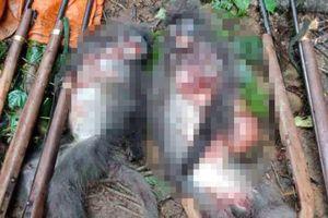 Bắt 5 đối tượng giết 2 cá thể Voọc xám quý hiếm