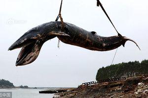 Bí ẩn cá voi 'khủng' nặng cả tấn chết thảm, dạt bờ