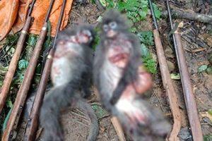 Bắn 2 cá thể voọc xám quý hiếm, nhóm thợ săn đối diện mức phạt 2 tỷ đồng