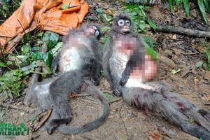 Bắn chết 2 cá thể Voọc xám, nhóm thợ săn có thể đối diện với án tù tới 5 năm