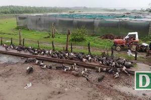 Hà Nam: Cận cảnh đàn lợn hương 500 con chuẩn bị Tết của đôi vợ chồng nông dân