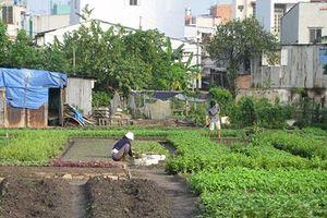 Trả 50% tiền hỗ trợ dân vườn rau phường 6, Tân Bình trước Tết