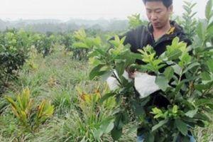 'Siêu nông dân' chia sẻ bí kíp trồng ổi 'mắn' quả quanh năm
