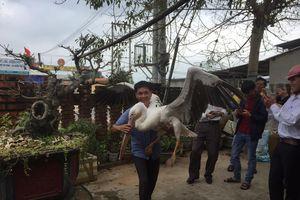 Hàng trăm người kéo xem chim bồ nông có gắn chip định vị ở Cửa Việt