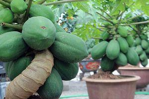 Đu đủ bonsai - cây cảnh giá đắt vẫn được săn lùng chơi Tết