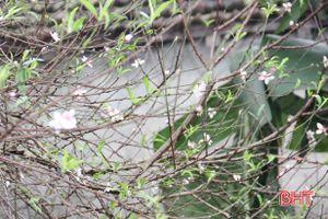 Làng hoa đào ở Cẩm Xuyên rộn ràng vào Tết