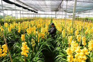 70% hoa địa lan Đà Lạt nở sớm, nhiều nhà vườn thua lỗ