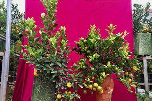 Những loại cây bonsai độc, lạ chuẩn bị 'trình diện' đón Tết Nguyên Đán năm 2019