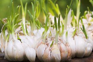Những loại rau củ mọc mầm có hại và có lợi cho sức khỏe
