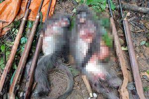 Nghệ An: Hai con voọc xám bị thợ săn sát hại