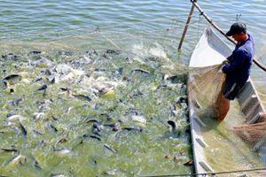 Giữ đà tăng trưởng ngành cá tra