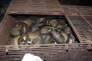 Phát hiện nuôi nhốt trái phép 215 cá thể tê tê