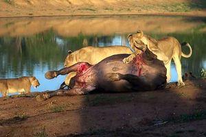 Đàn sư tử hợp sức hạ gục trâu rừng