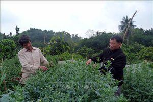 Trở thành triệu phú nhờ đưa giống cúc Đà Lạt về trồng trên đất Tuyên Quang