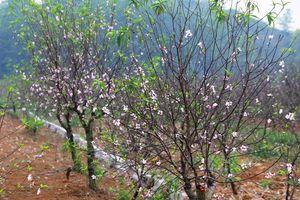 Ninh Bình: Nông dân thủ phủ đào phai 'khóc' vì hoa bung nở trước Tết