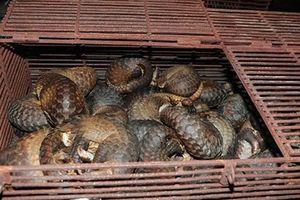 Hà Tĩnh: Bắt nhóm đối tượng buôn bán hơn 200 cá thể tê tê quý hiếm