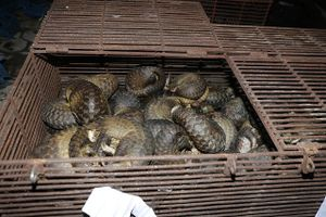 Bắt 9 đối tượng nhốt và buôn bán trái phép 215 cá thể tê tê quý hiếm