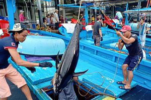 Ngư dân Khánh Hòa có tiền sắm tết nhờ 'được mùa' cá ngừ