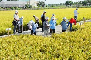 Vĩnh Long xây dựng cánh đồng lúa hữu cơ