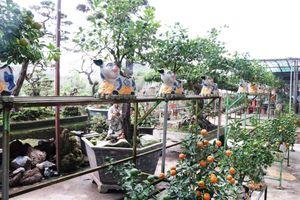 Độc đáo quất bonsai chơi Tết Kỷ Hợi