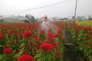 Làng hoa Sài Gòn tất bật hơn bao giờ hết những ngày cuối năm